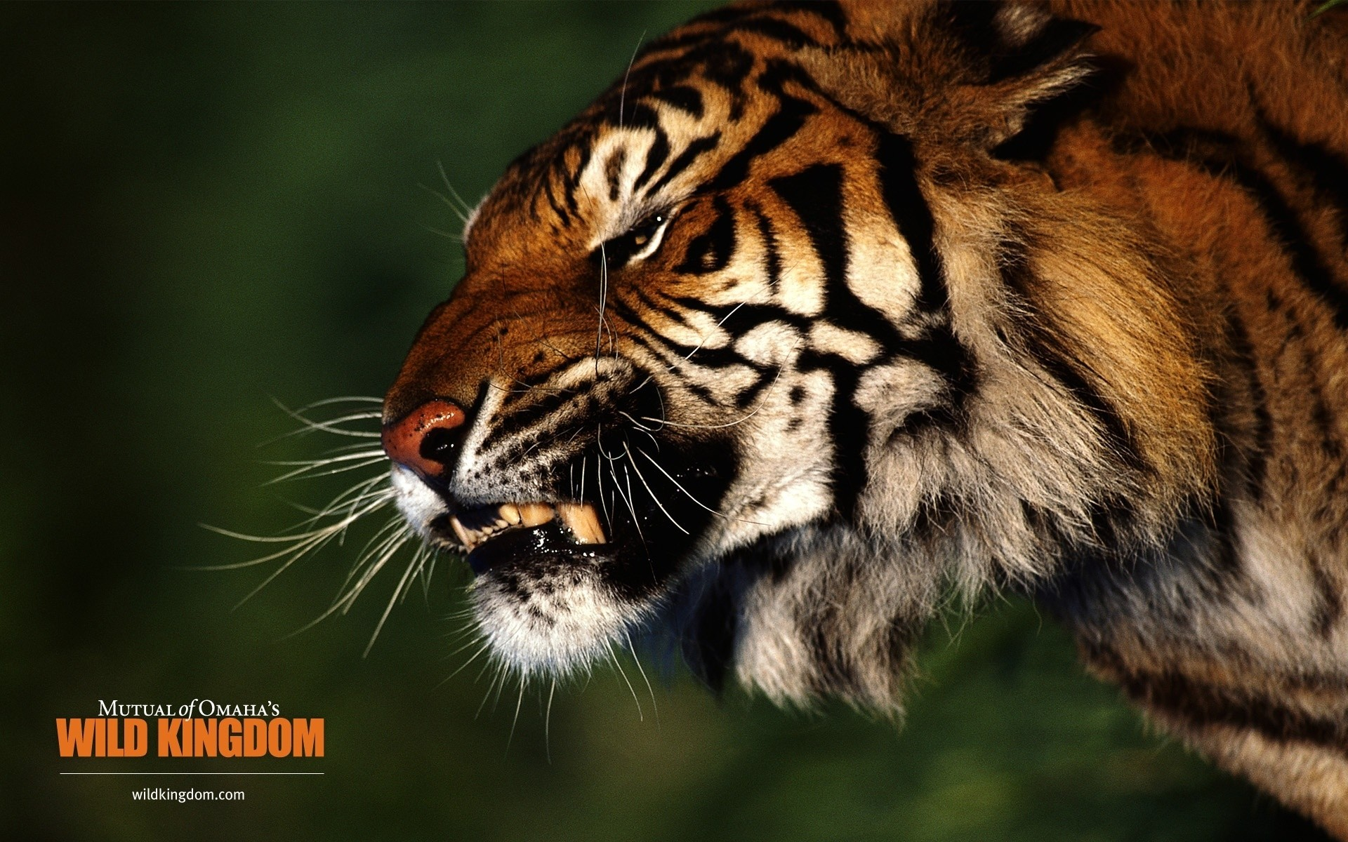 Angry Tiger Desktop Wallpapers For Free