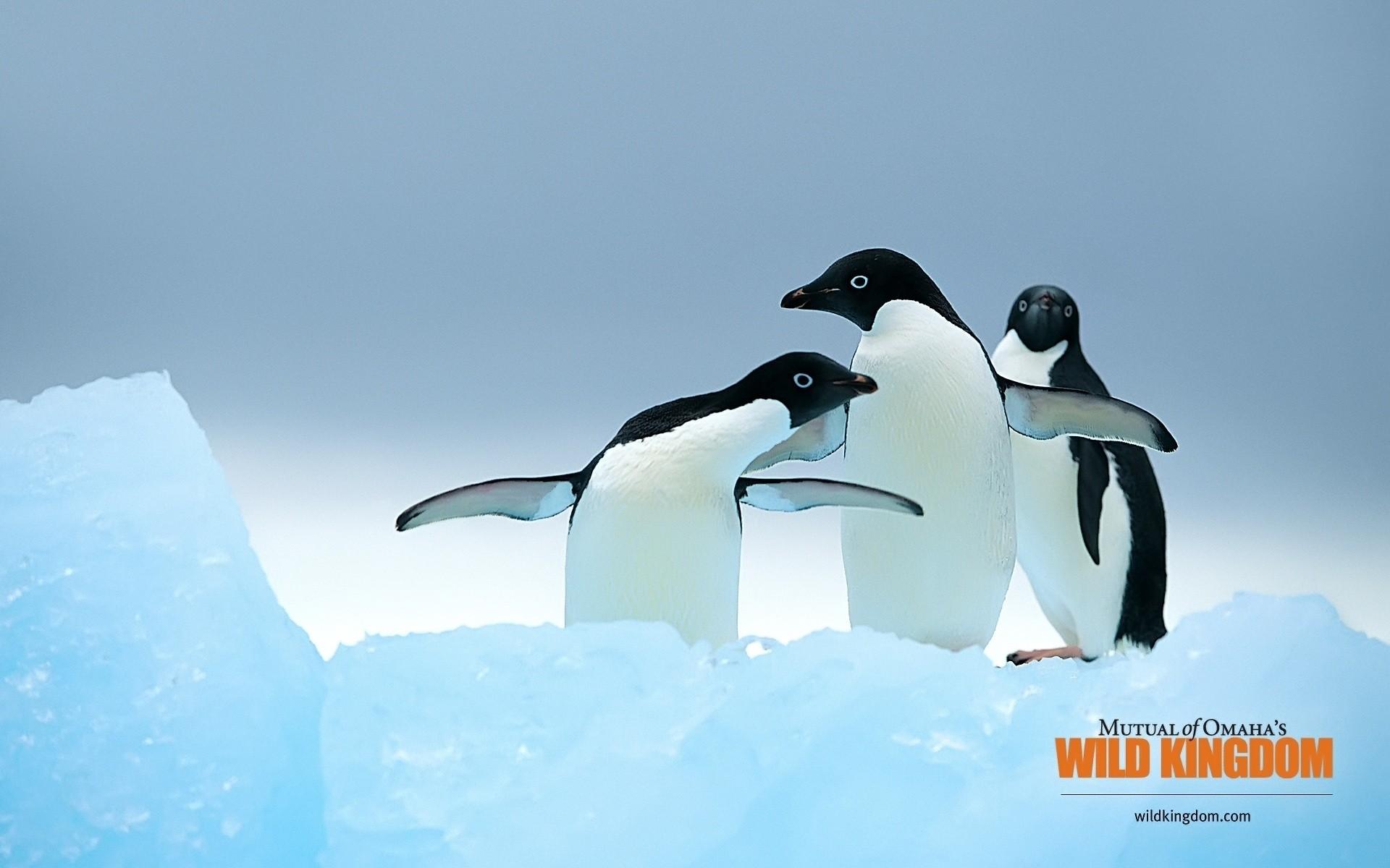 пингвины на глыбе льда  № 91294 бесплатно