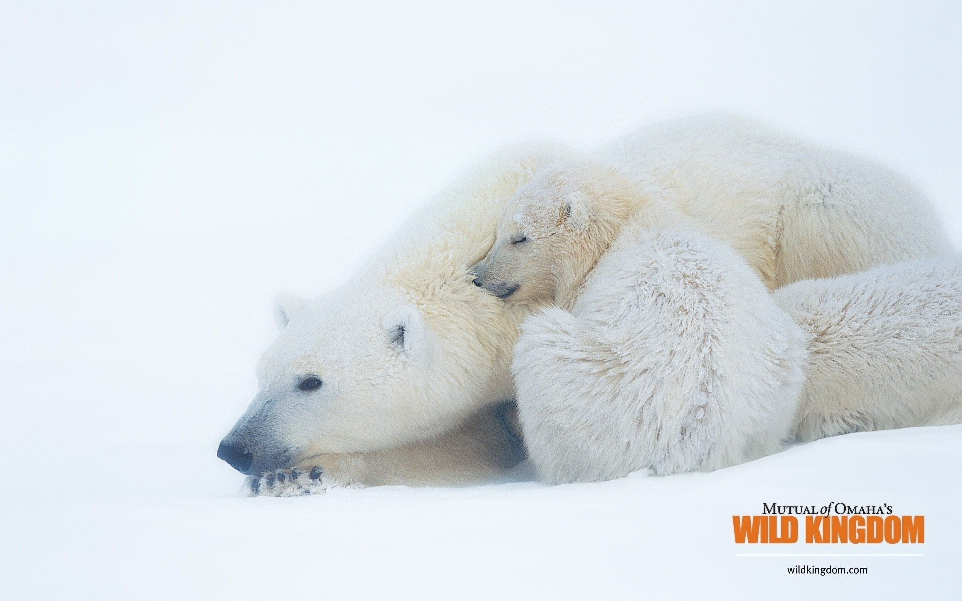 animals snow winter frosty cold nature fur frost ice cute outdoors bears polar bears