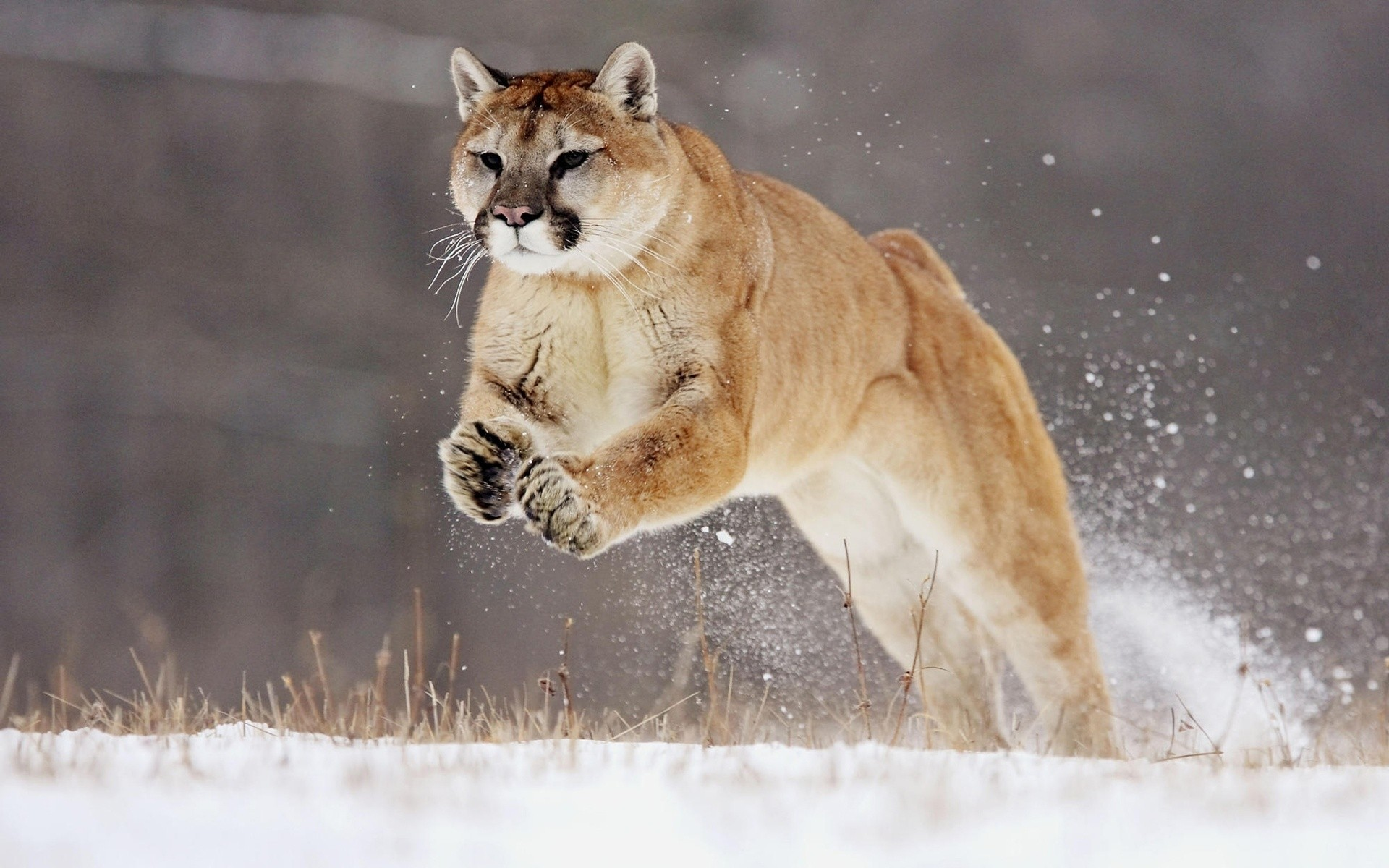 animals cat mammal wildlife snow winter nature outdoors animal predator portrait puma