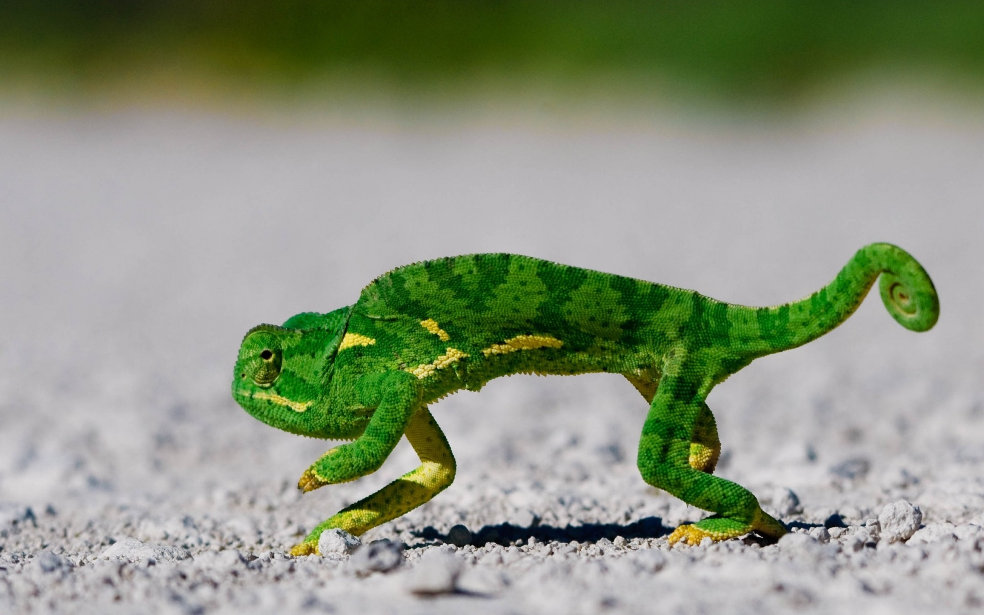 reptiles and frogs reptile lizard nature wildlife animal amphibian frog leaf chameleon environment outdoors gecko color one