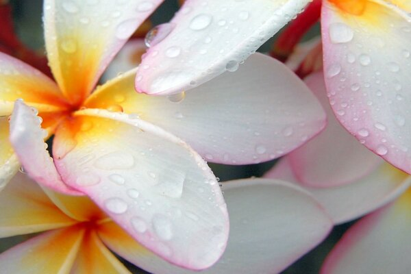 Plumeria after Morning Rain