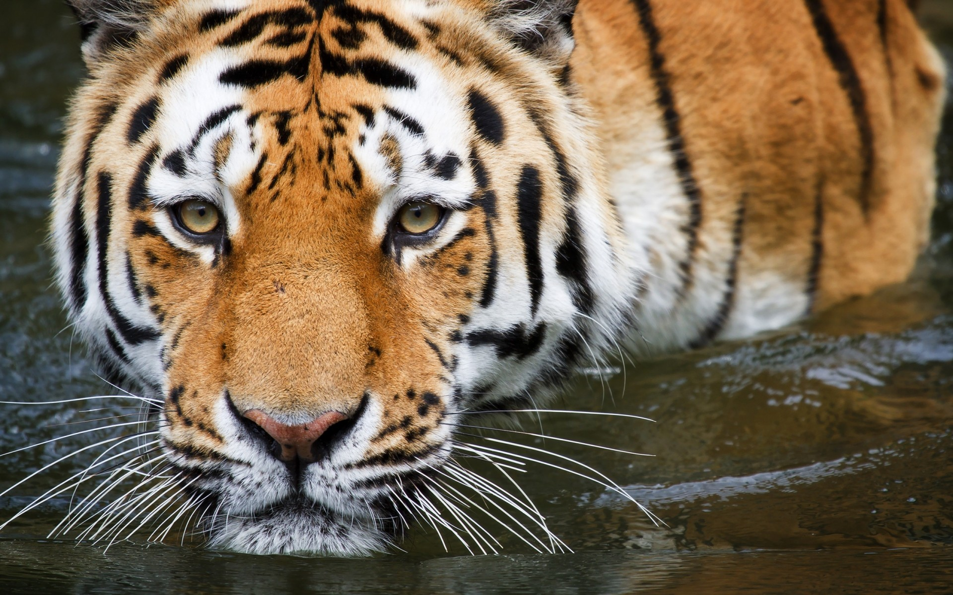Bathing Tiger IPhone Wallpapers For Free