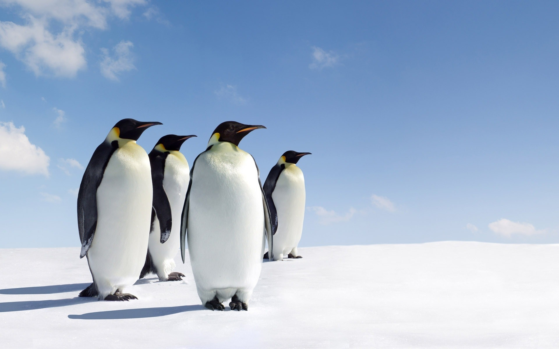 animals snow frosty bird winter wildlife ice cold penguins nature outdoors