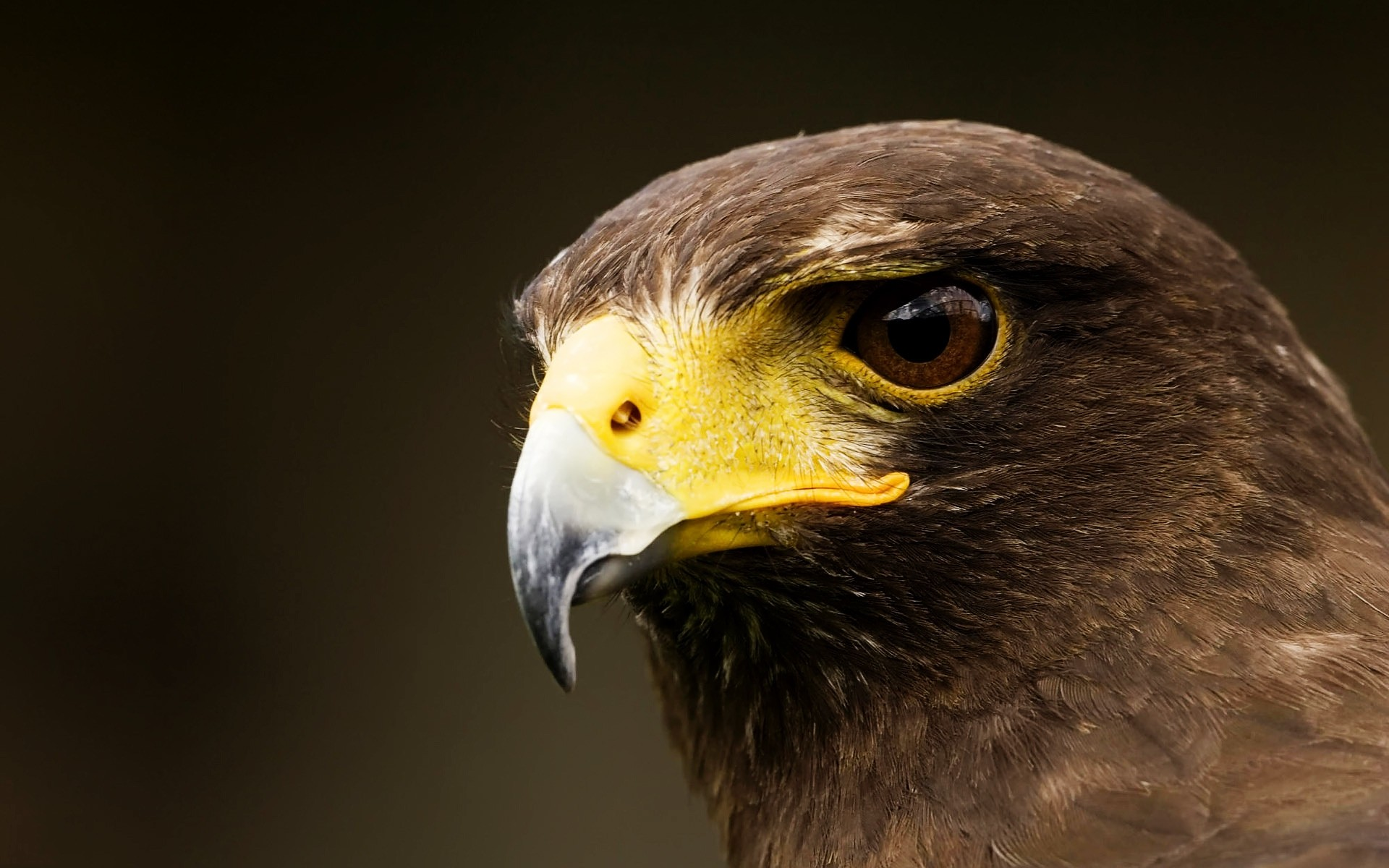 eagle bird raptor wildlife prey hawk beak falconry bald eagle animal nature eye falcon feather flight