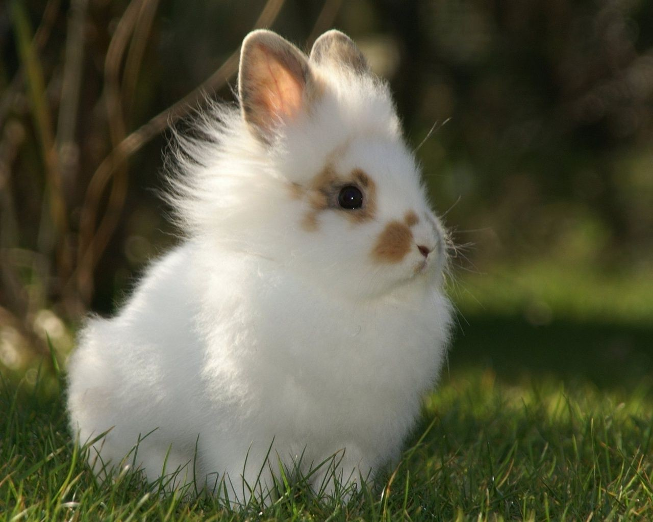 Fluffy bunny desktop wallpapers for free voltagebd Image collections