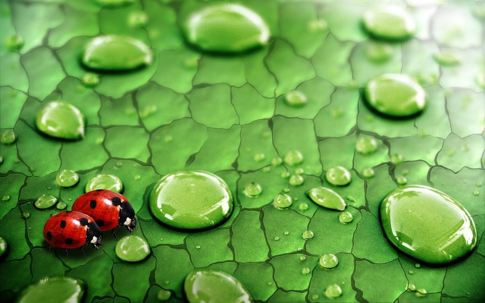 Ladybugs on a leaf with drops