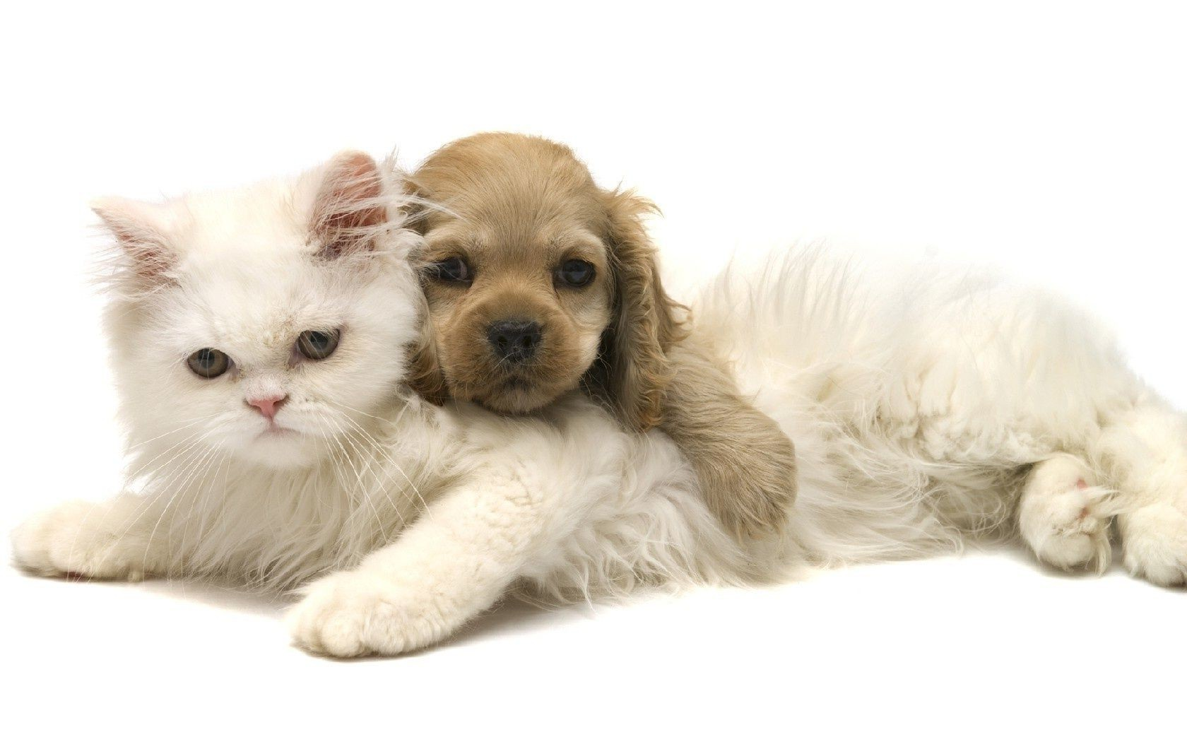 animals pet cute domestic animal purebred little studio adorable pedigree breed mammal fur young sit downy kitten puppy baby cat furry