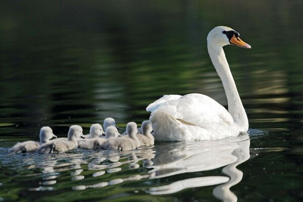 Swan with a brood