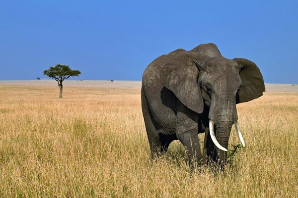 The elephant on the field in Africa