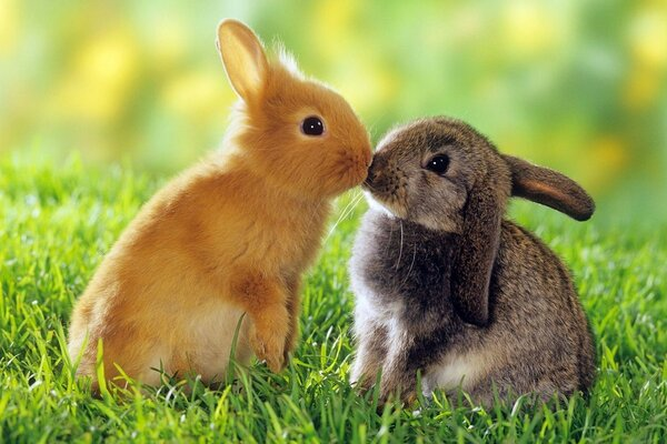 Two rabbits kissing