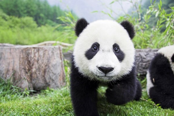 Beautiful Baby Panda