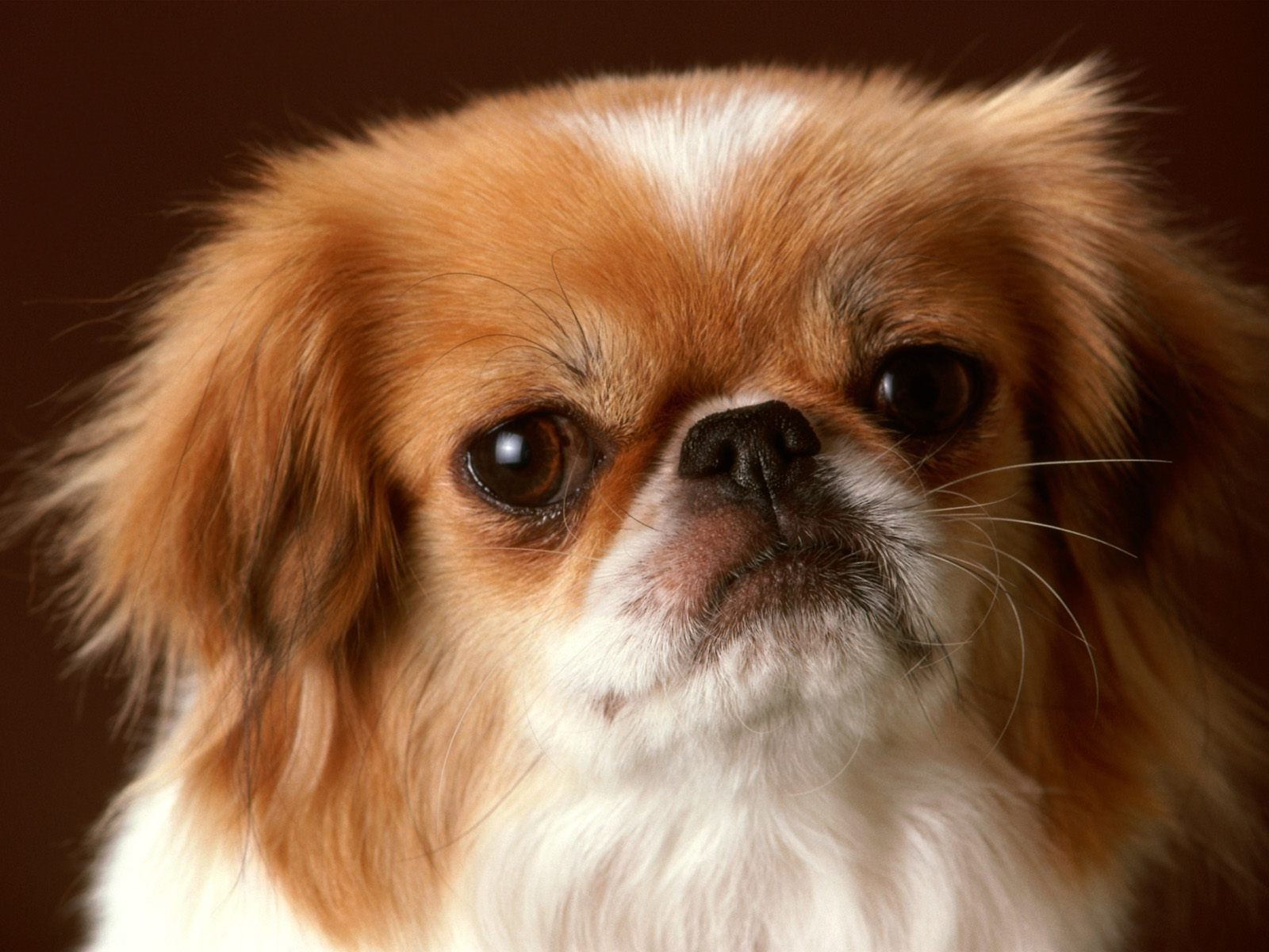 Pekingese with cute face