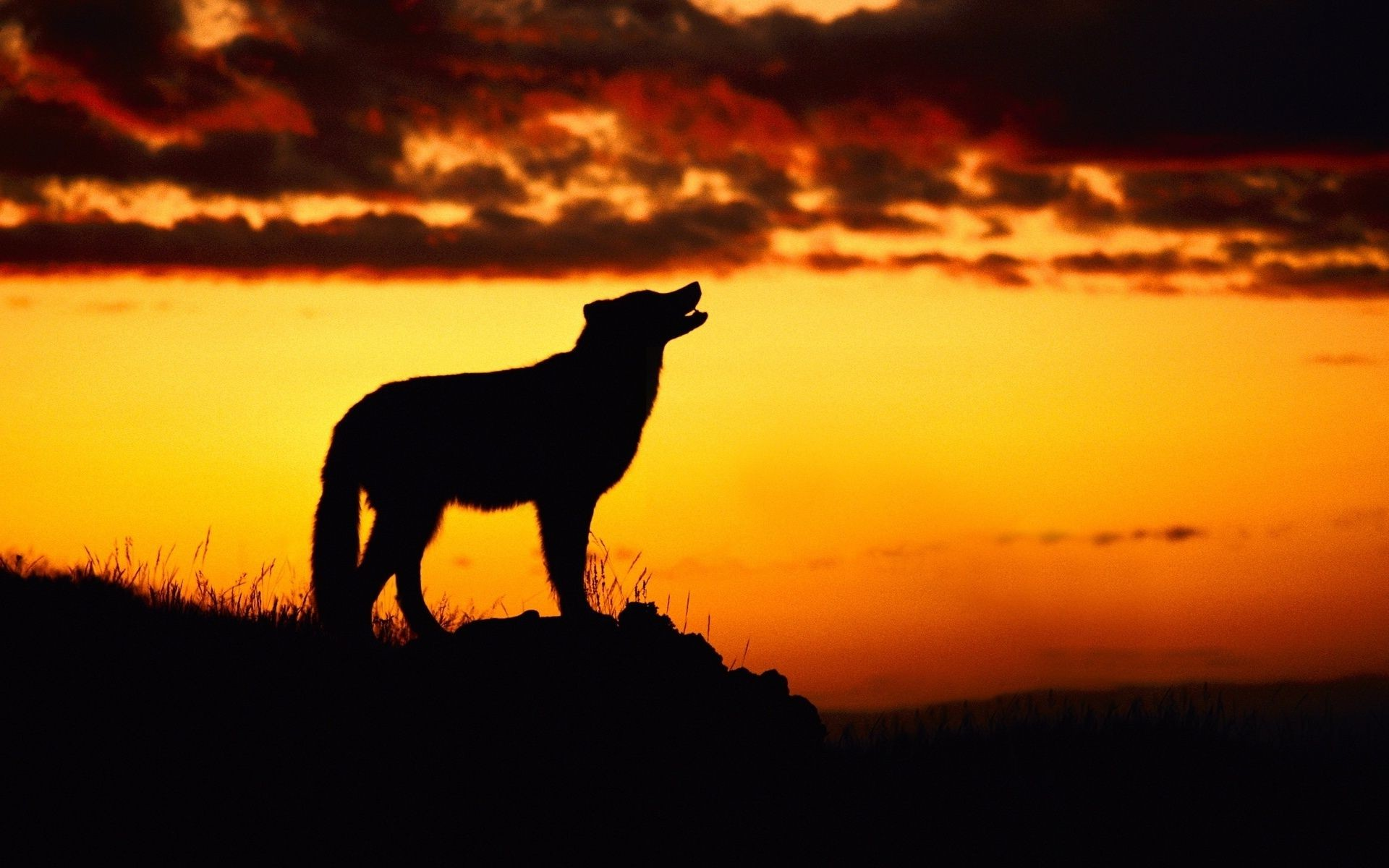 wolf howling at the moon at sunset