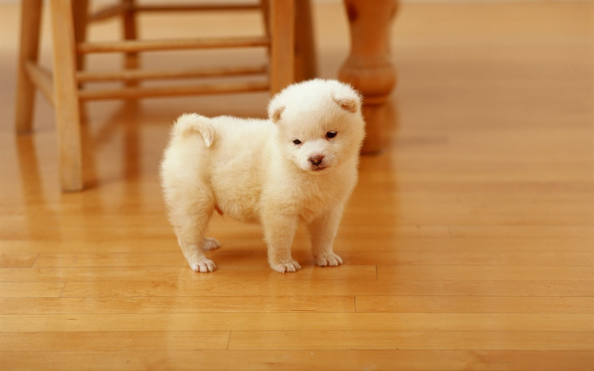 white baby puppy . android wallpapers for free.