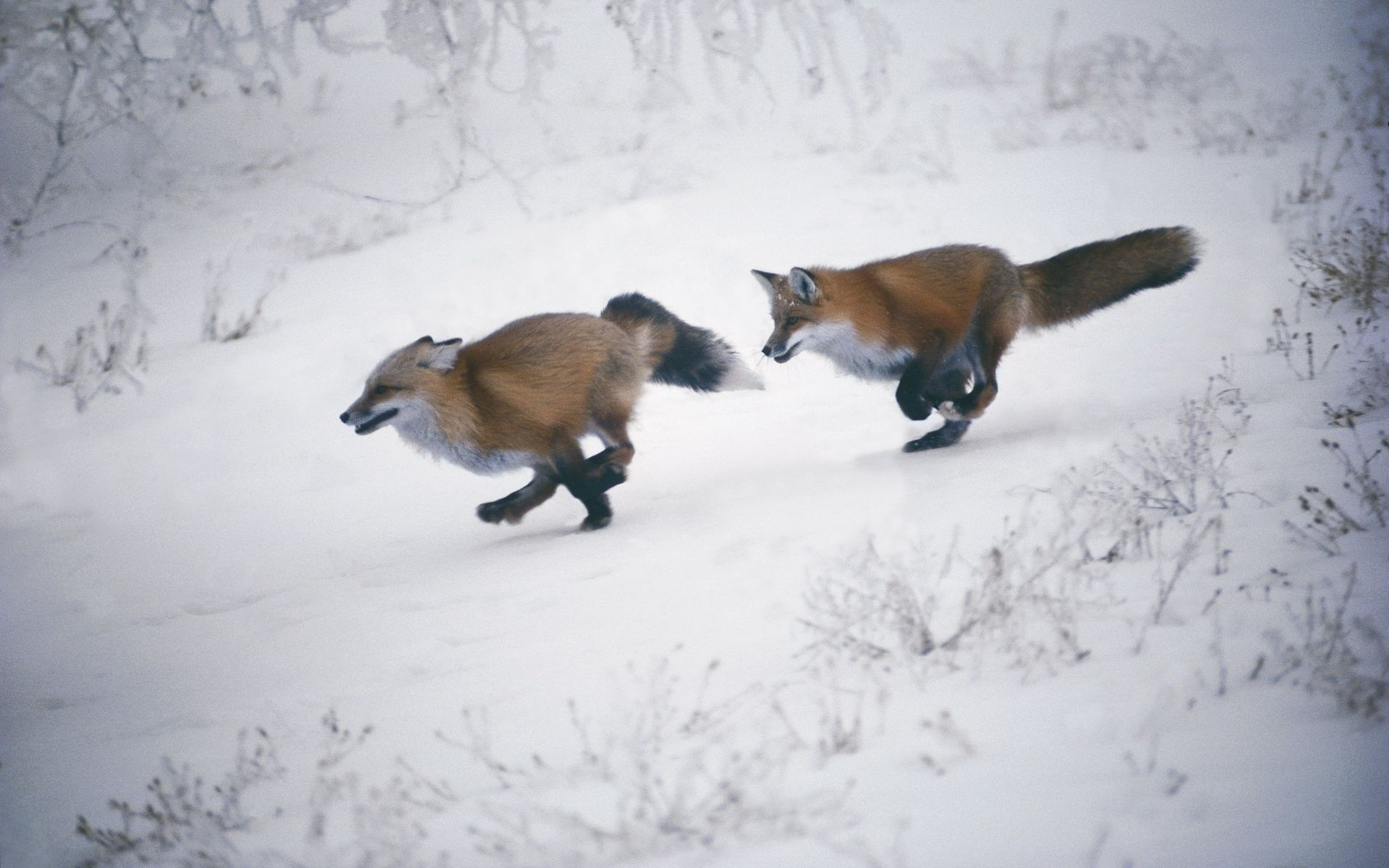 foxes playing catch-up