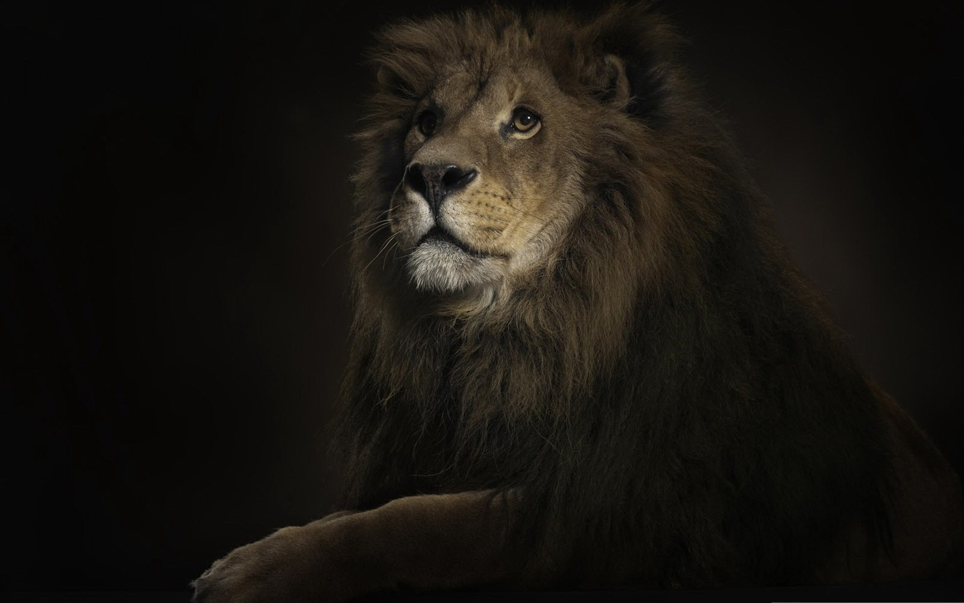 animals mammal cat lion portrait wildlife one