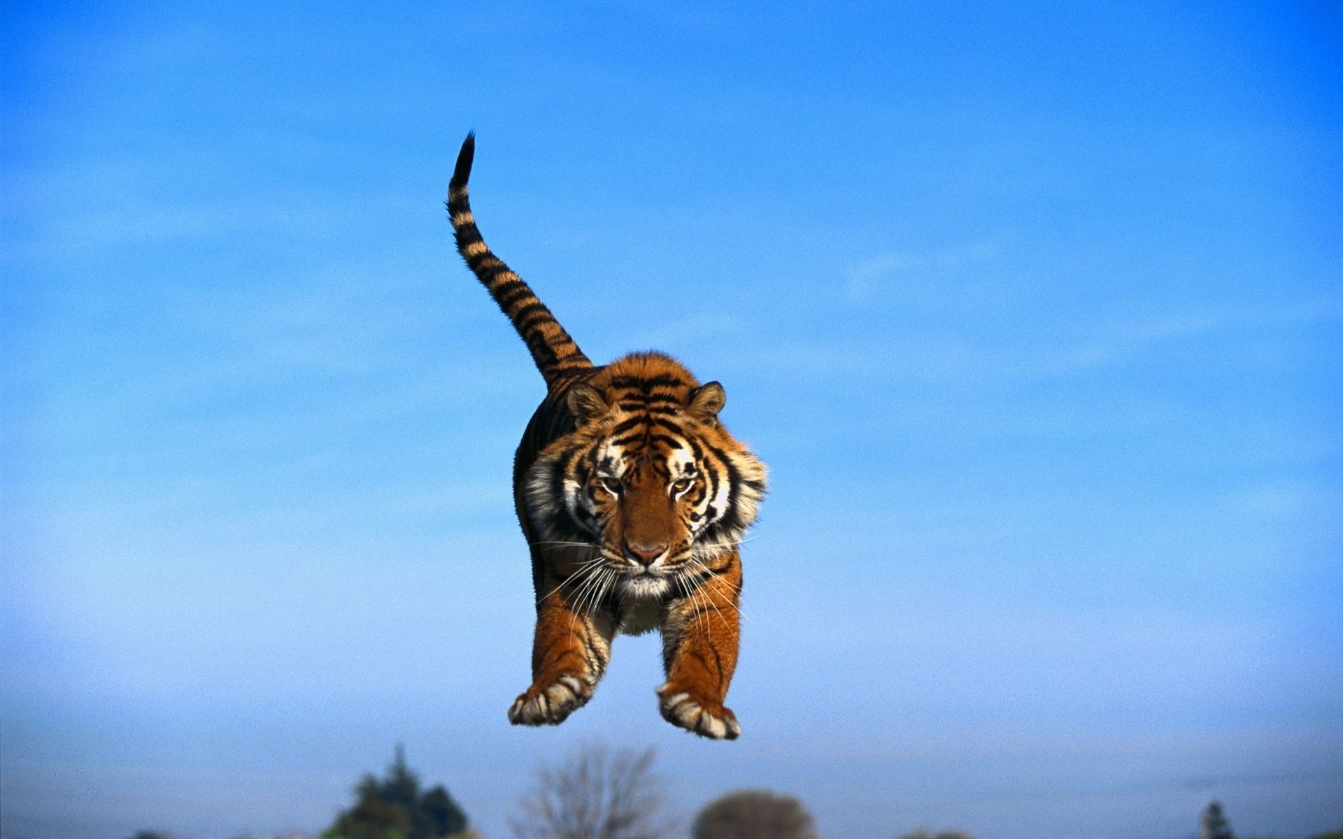tiger in a jump