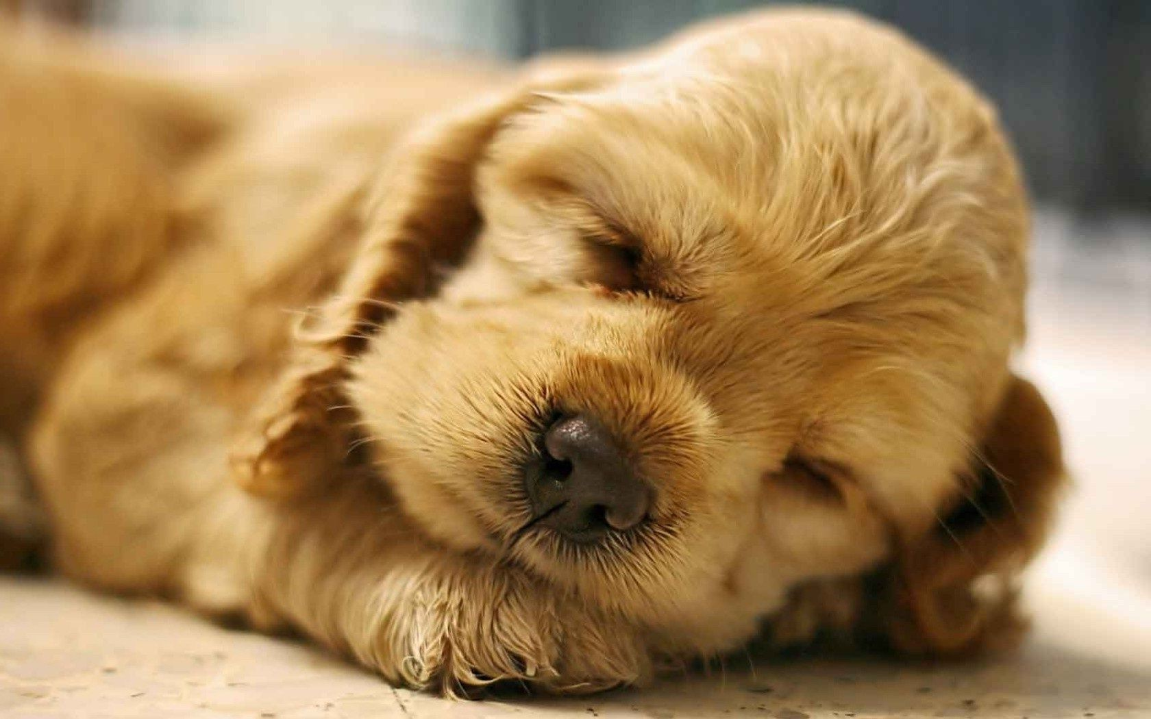 Red puppy sleeping sweetly