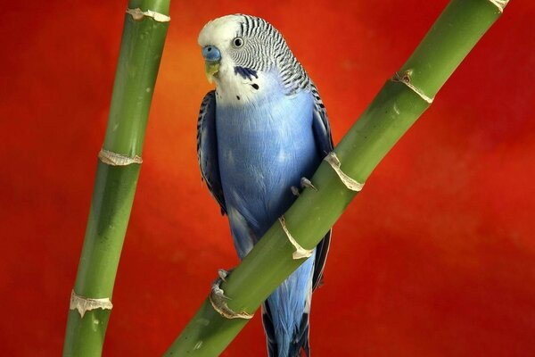 Parrots on bamboo