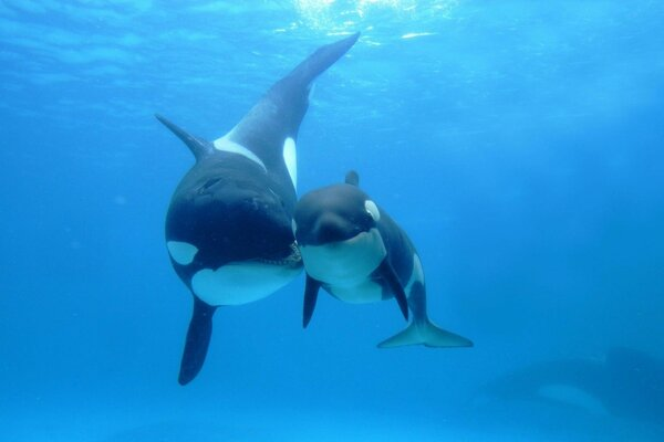 Killer whale mother and calf