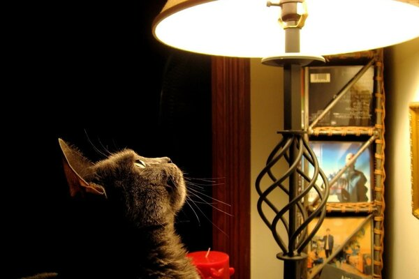 Cat looking at the lamp