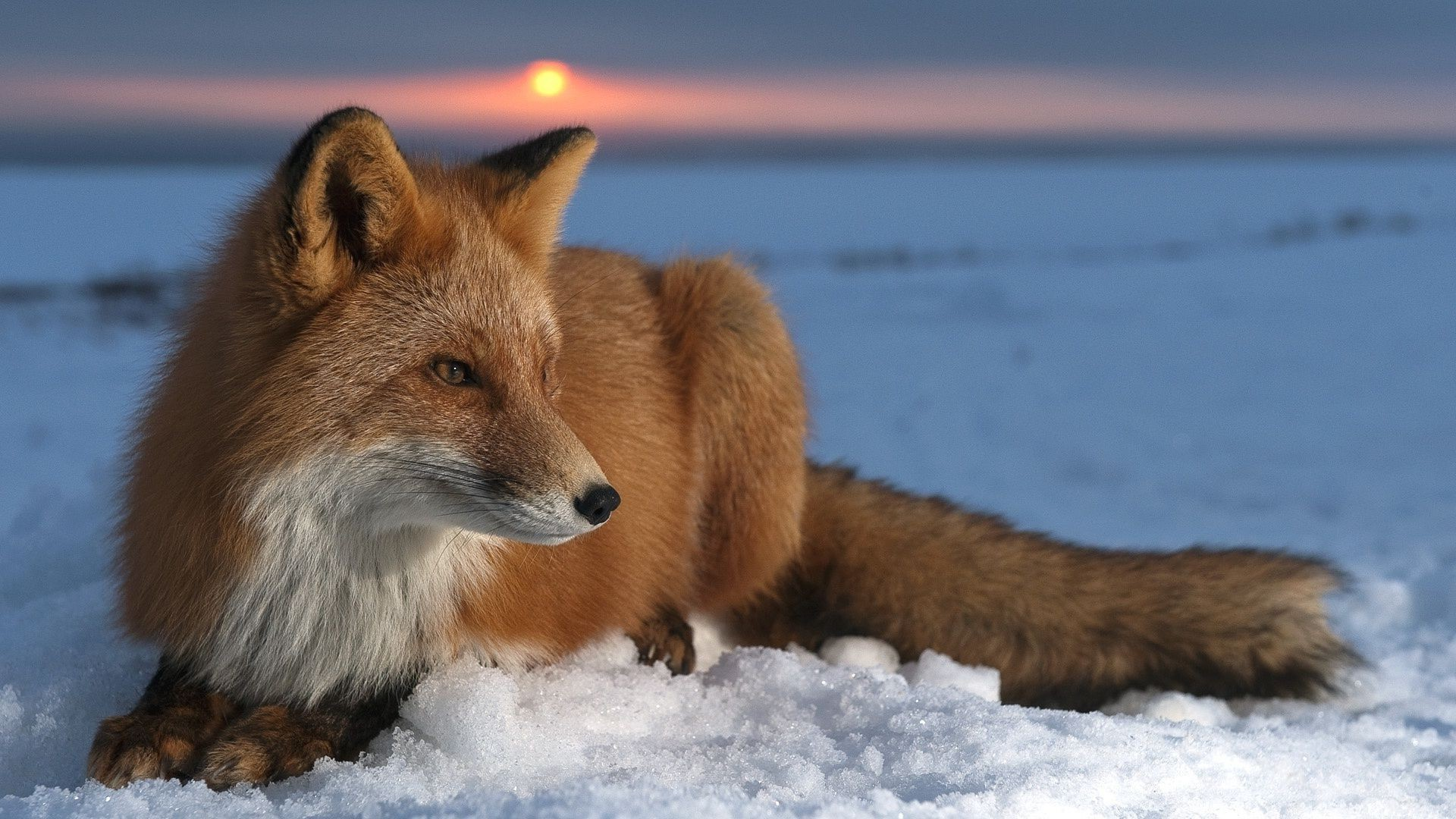 fox mammal wildlife winter snow canine outdoors nature animal fur predator frosty