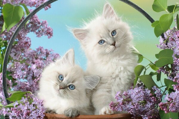 fluffy, white kittens with blue eyes surrounded by Sira