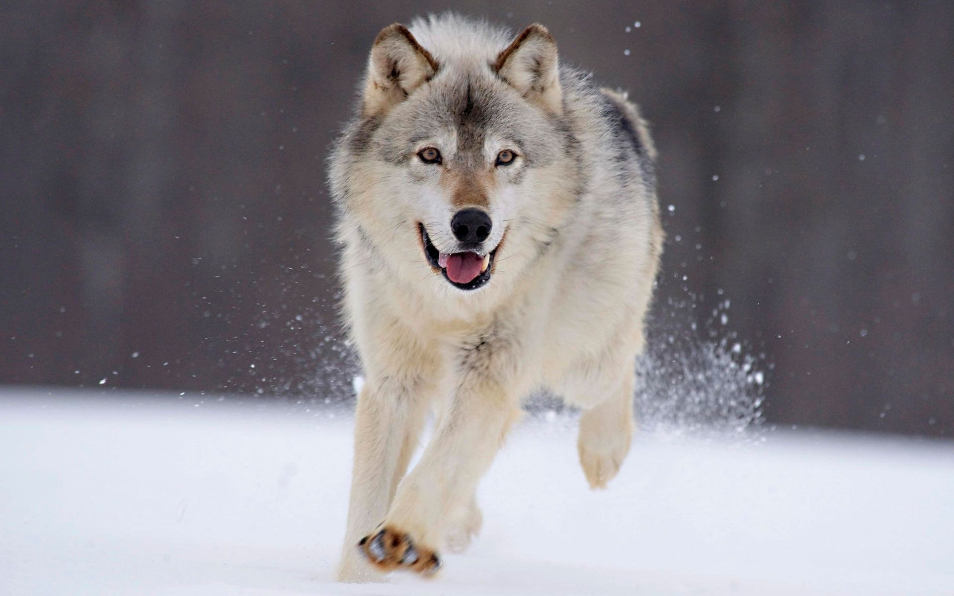 wolf hunting in the winter