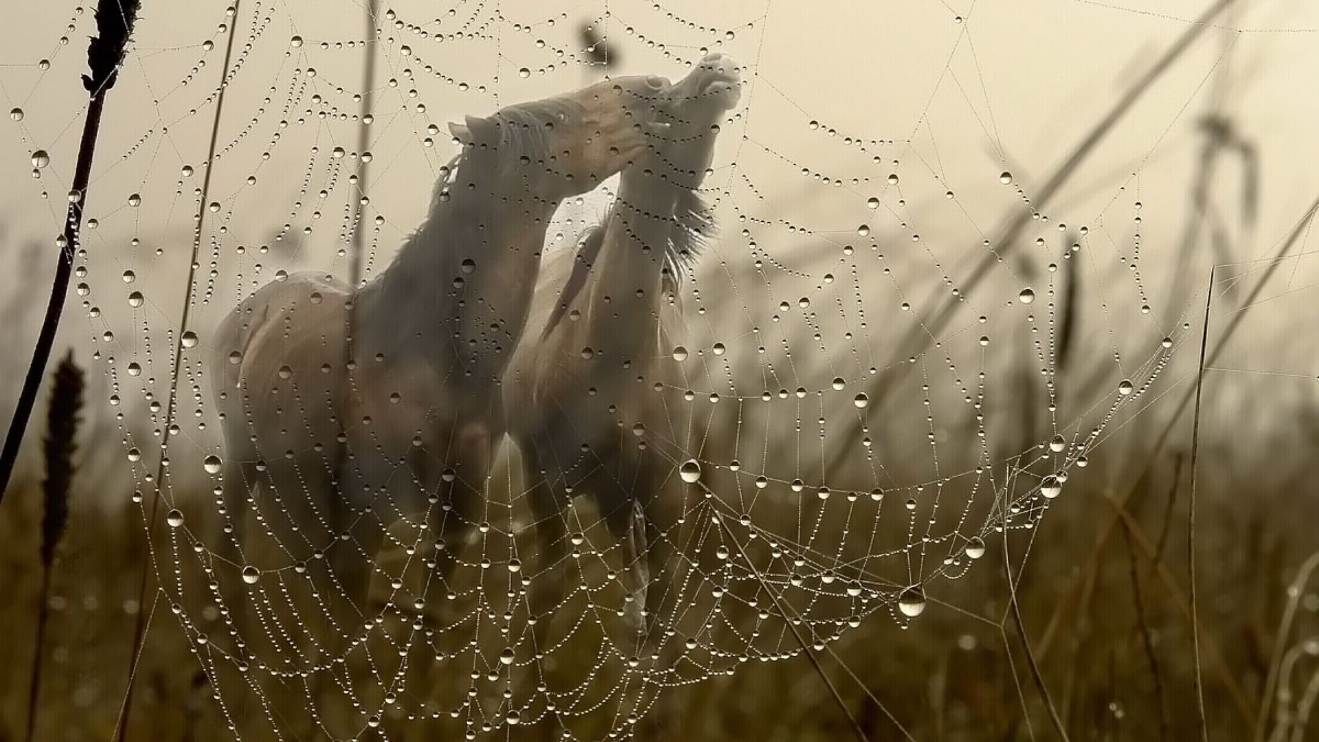 cobweb with dew drops on a background of frolicking horses