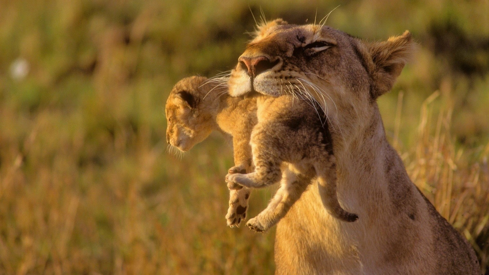 The lioness holds baby cub in teeth