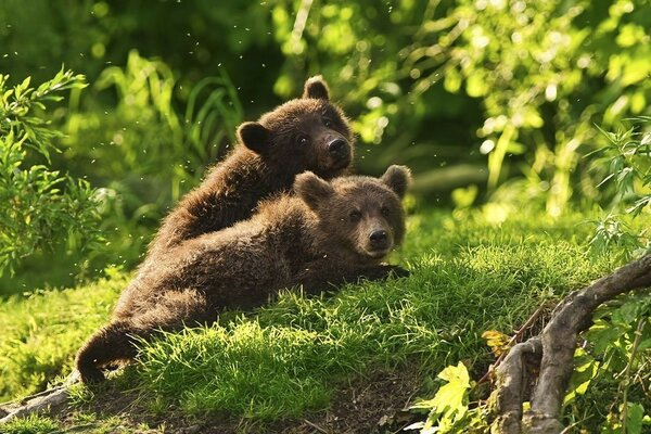 Two of the bear lying in the grass in the forest