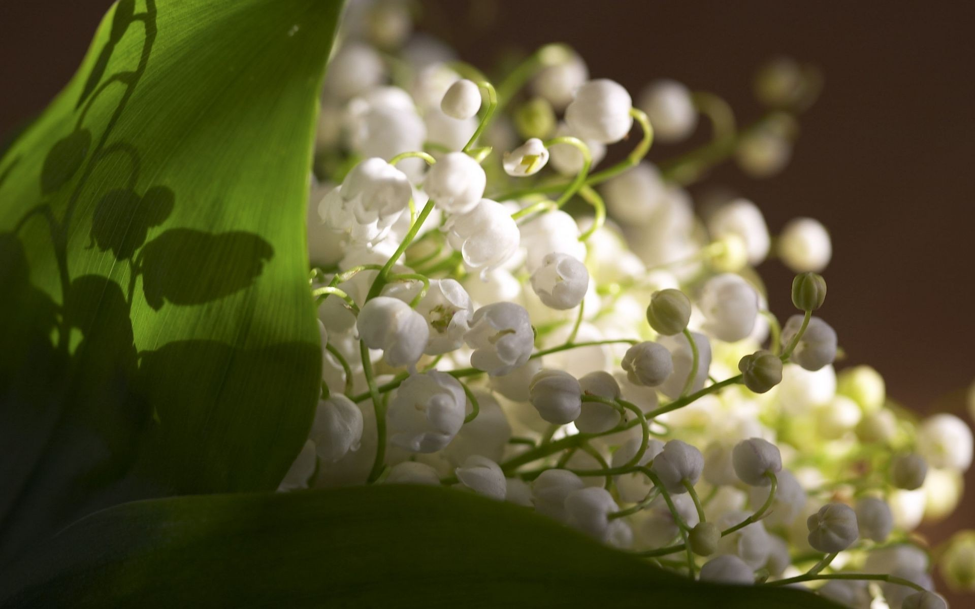 White flowers of lily of the valley android wallpapers for free izmirmasajfo
