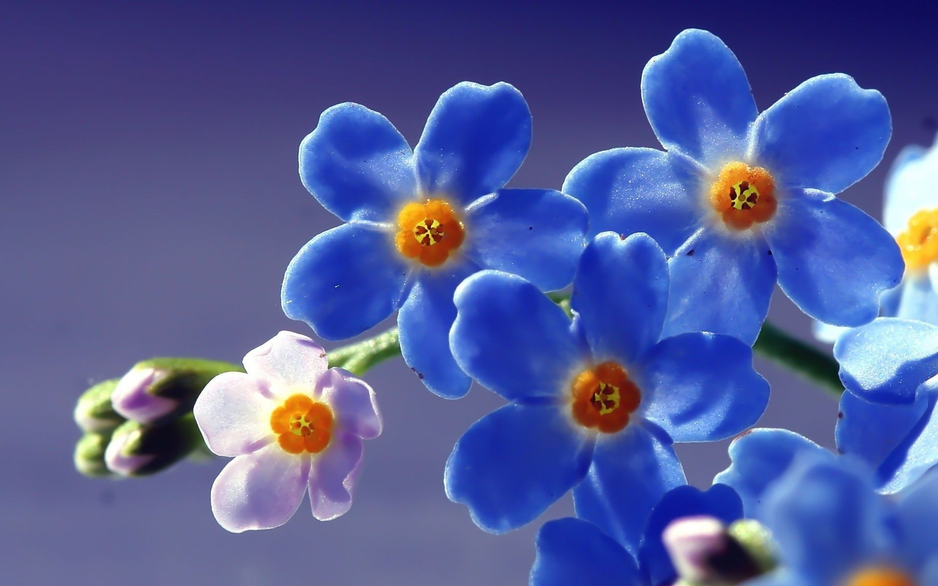 синие цветы незабудки крупный план роса  № 2779573 бесплатно