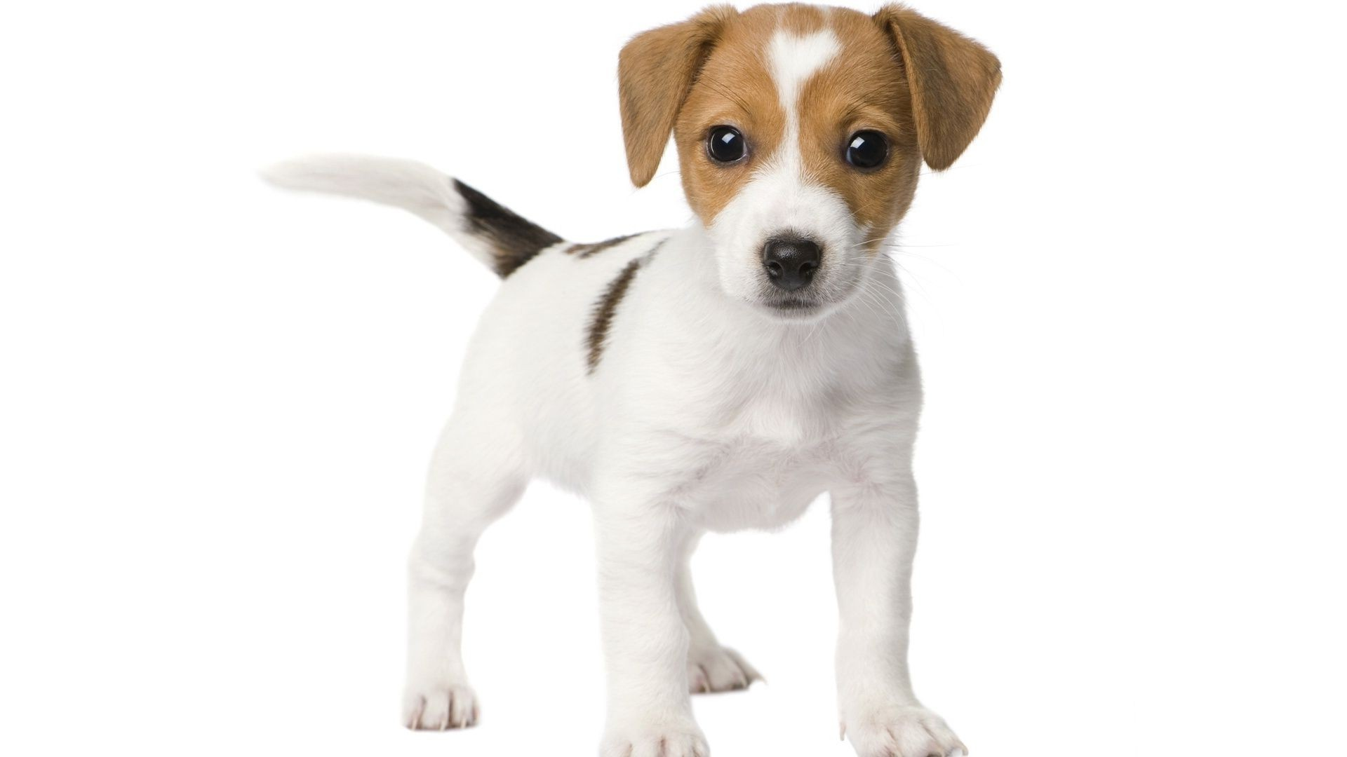 dogs dog cute pet canine mammal animal puppy little sit purebred pedigree isolated funny breed looking studio terrier