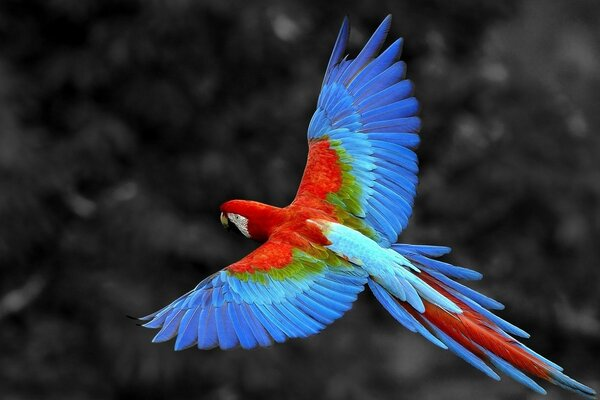 colorful parrot flying solo