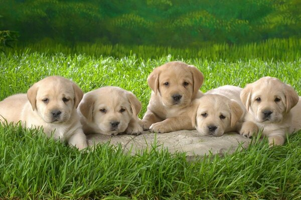five cute puppies on the grass
