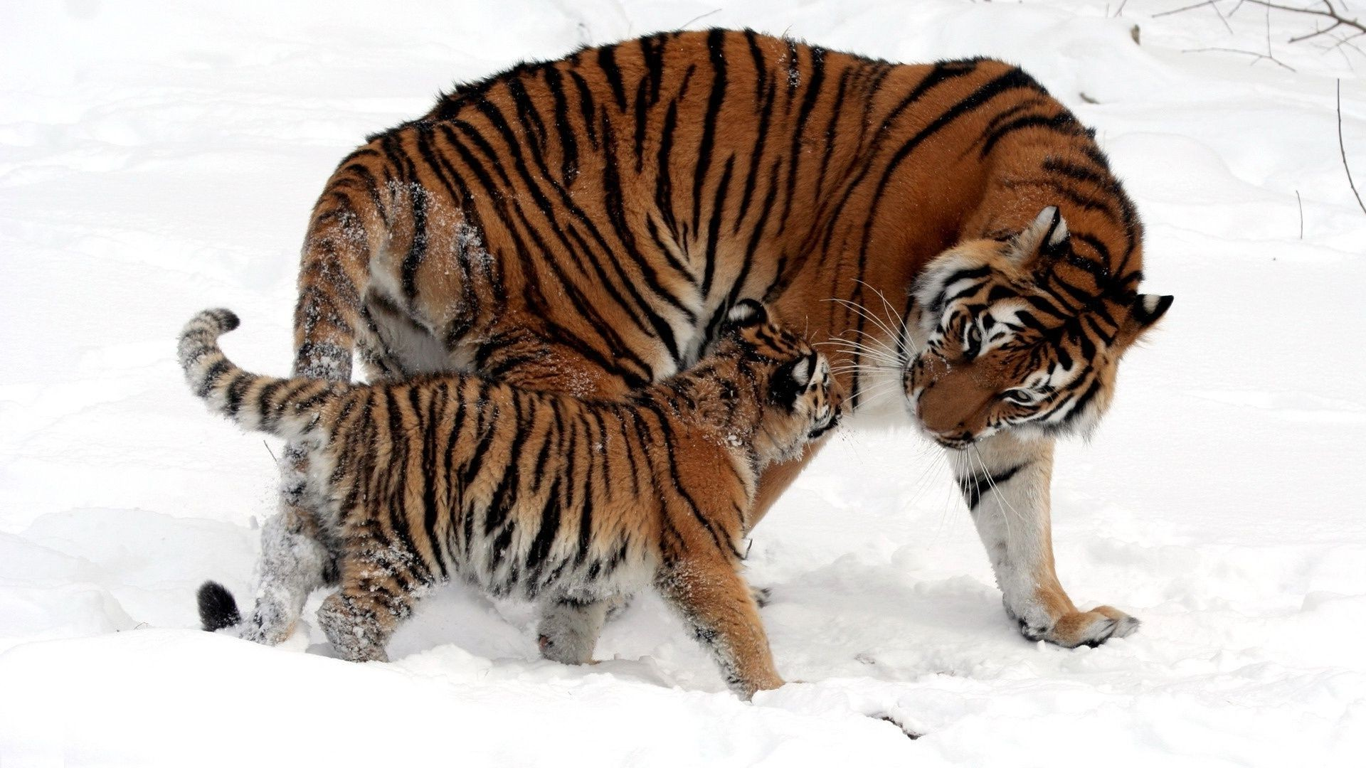 tigers mother and baby play in the snow