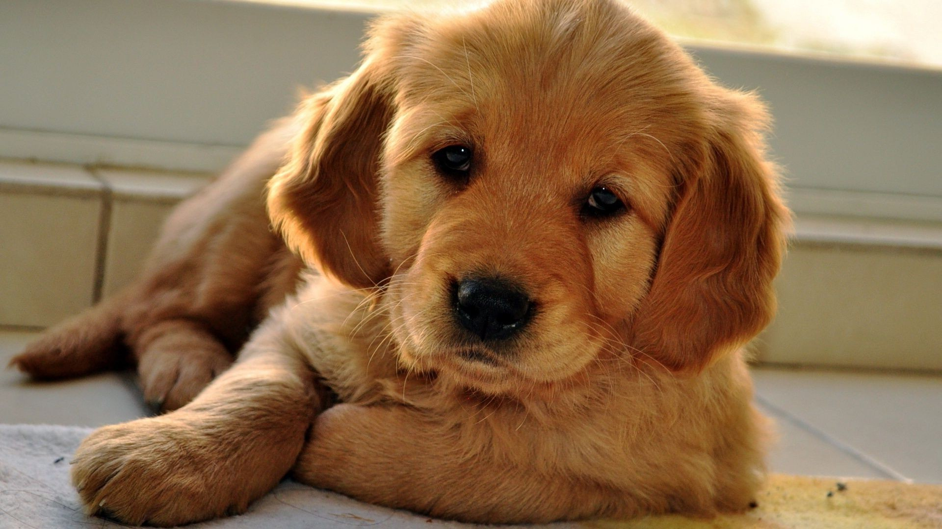 Cute Beige Puppy Dog With Sleepy Eyes Iphone Wallpapers For Free