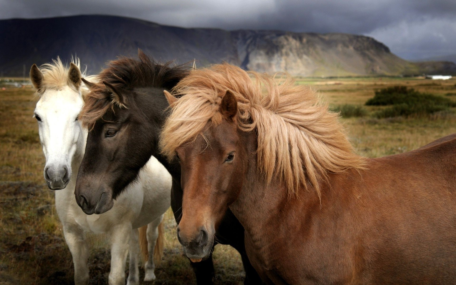 wild horses of different suits with thick manes