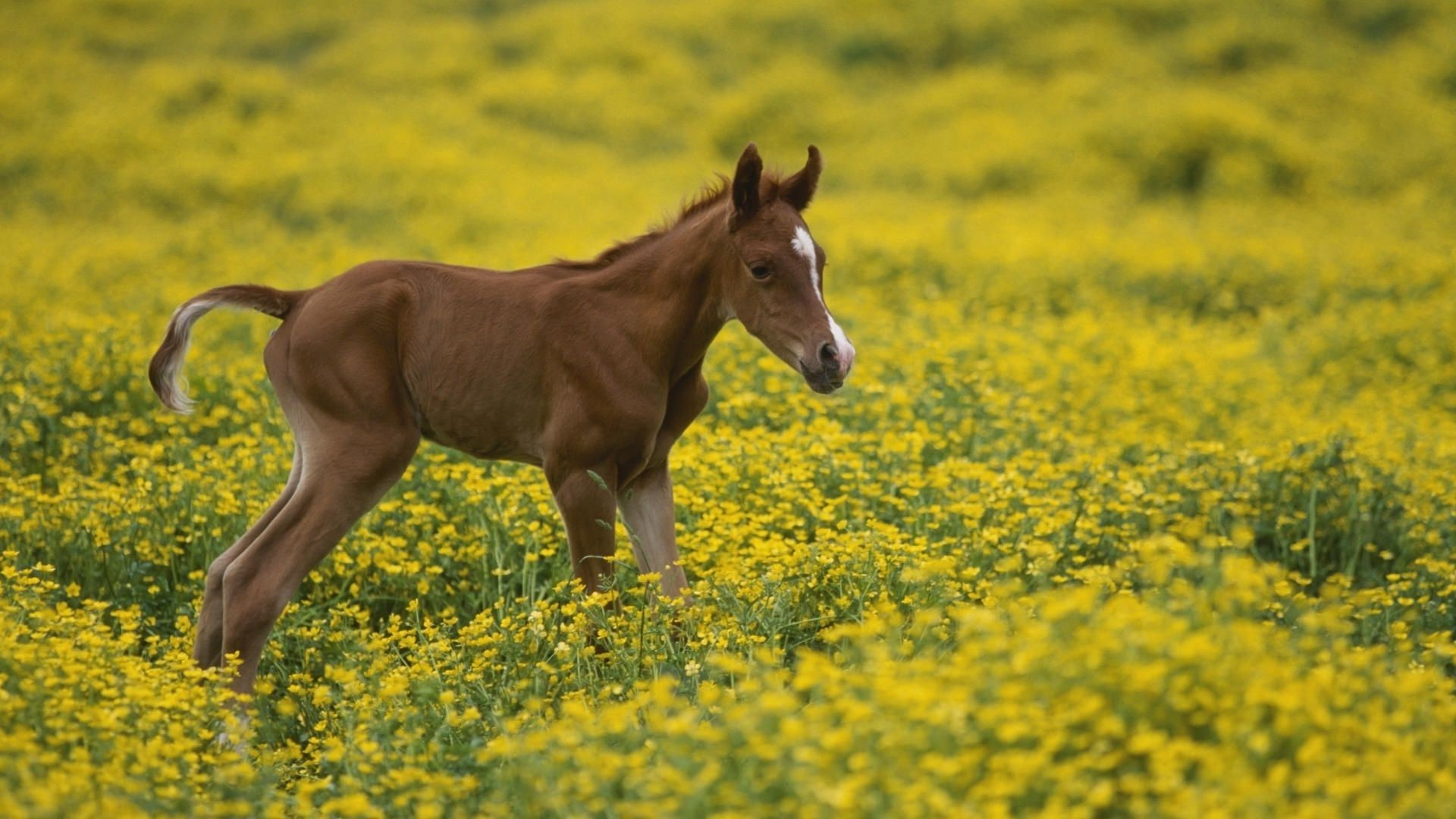 foal in field with yellow flowers
