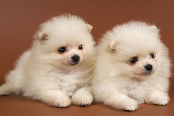 fluffy puppies Chow Chow snow white