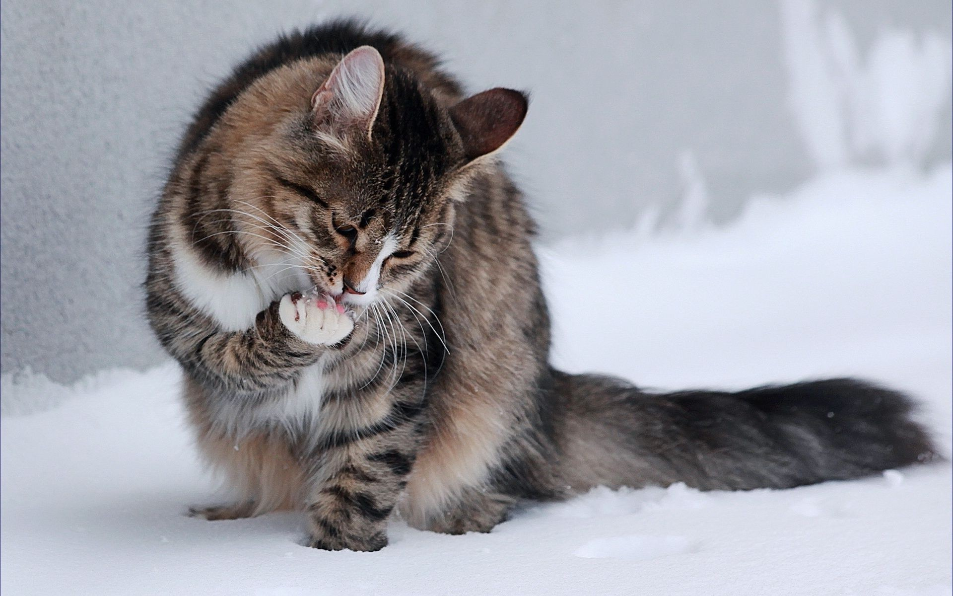 kitty licks paw in the snow