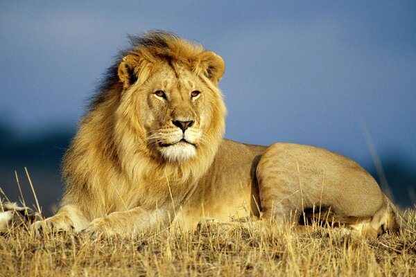 a lion lies on the dry grass in the Savannah