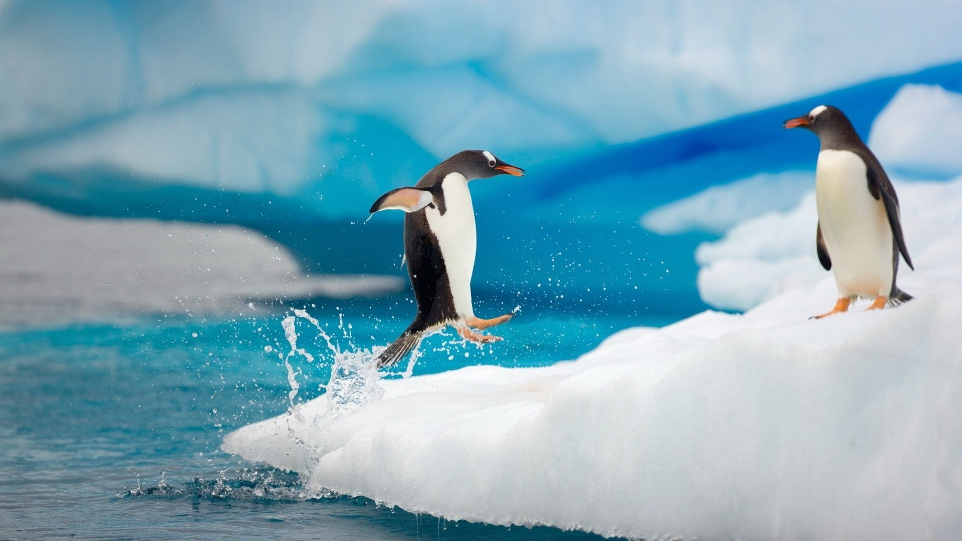 penguin jumping out of water on the ice floe