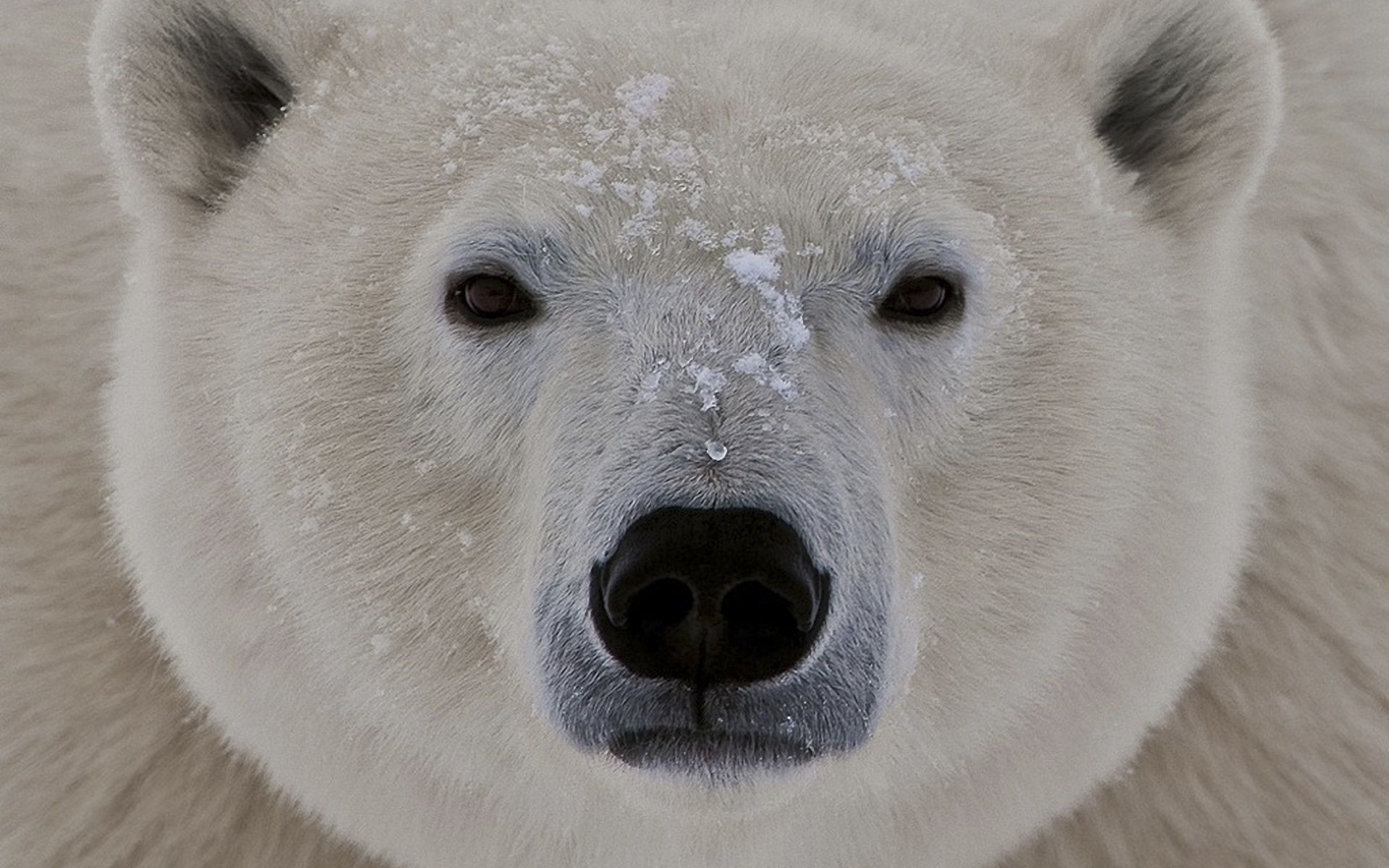 the muzzle of the polar bear closeup