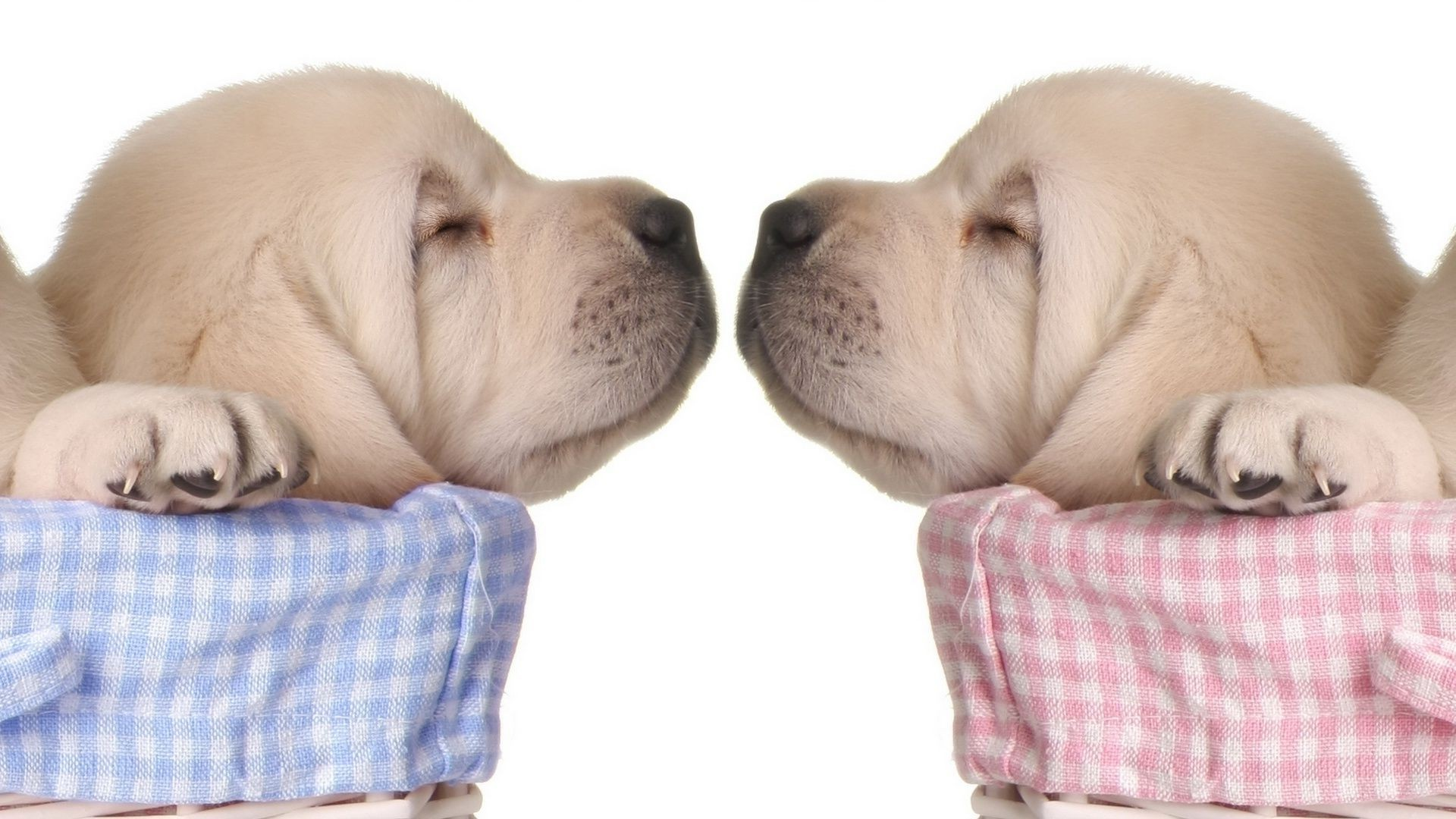 two puppies of white color touch each other muzzles