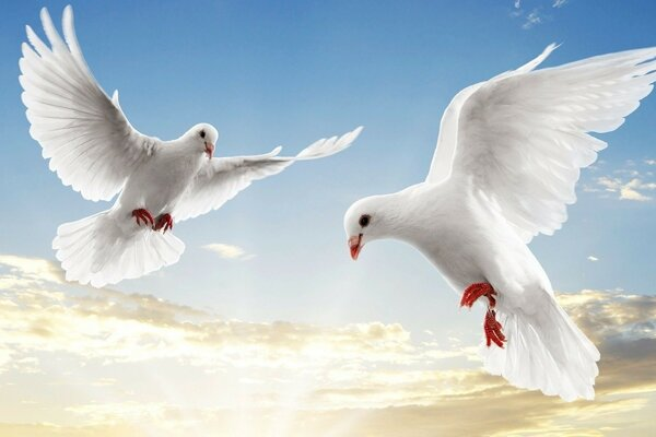 pair of white doves in the sky