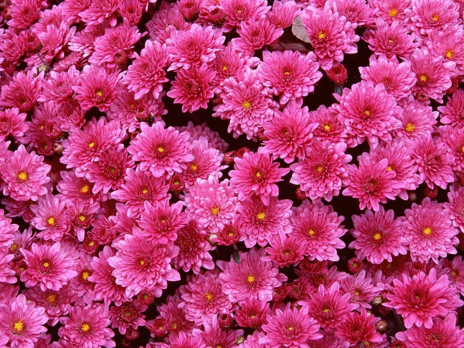 Bushes of chrysanthemums