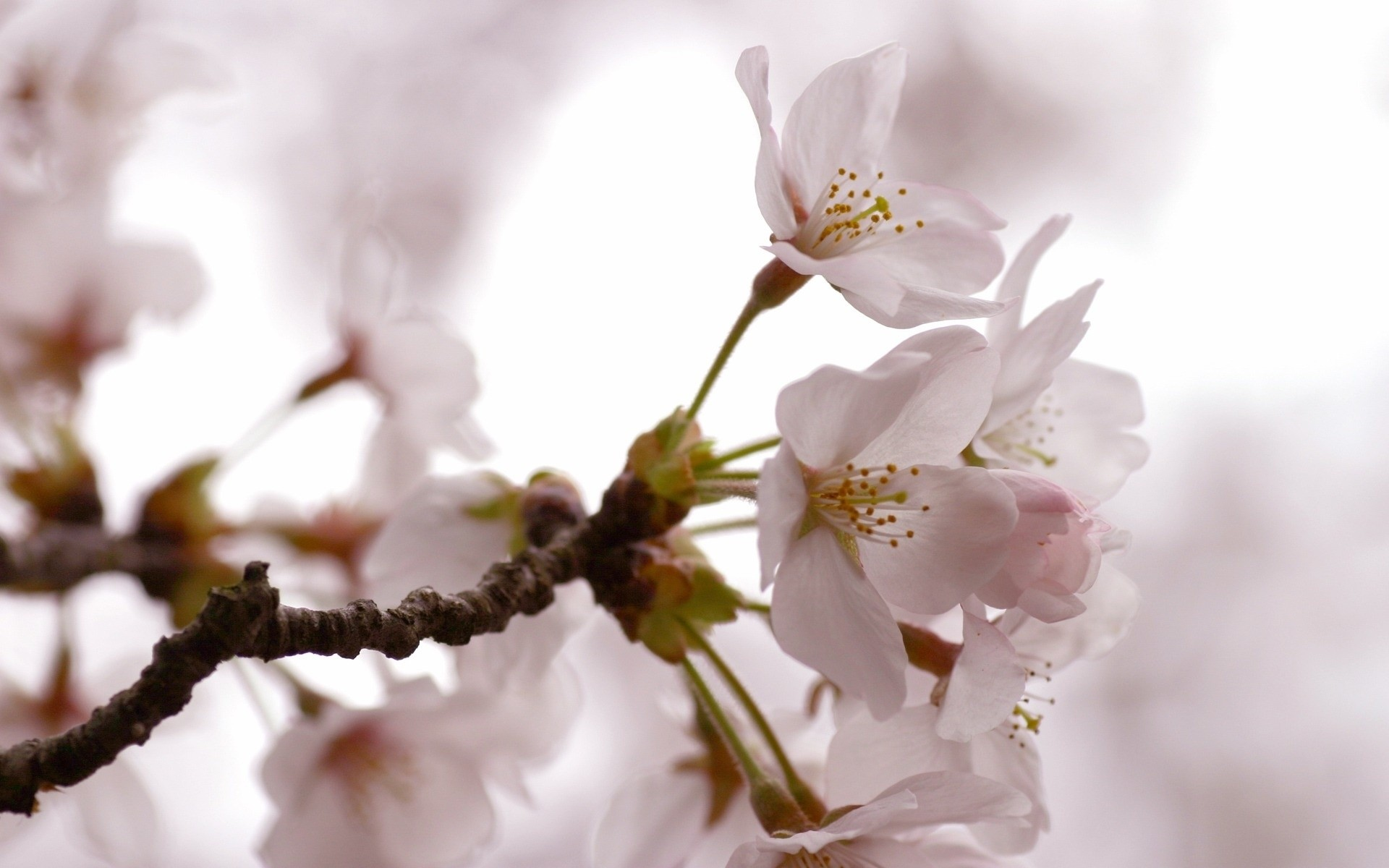 flowers flower cherry nature branch tree flora leaf apple bud plum blooming delicate growth blur petal garden apricot floral bright